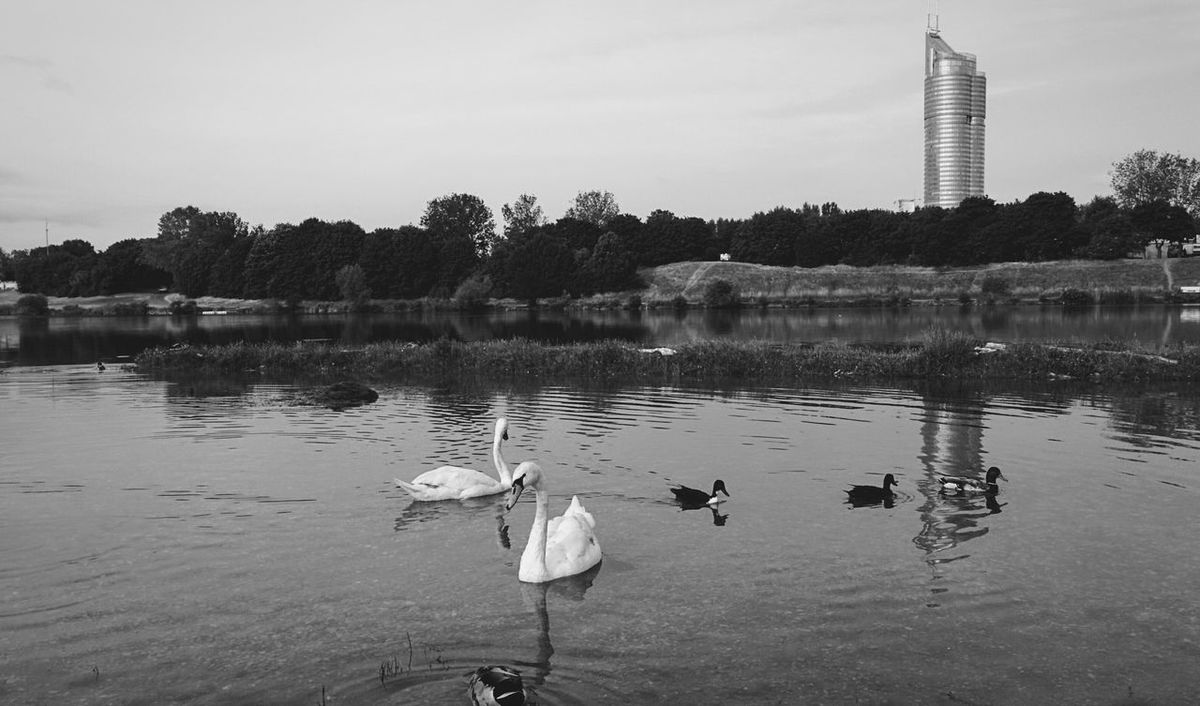 Nature Day Out Blackandwhite Black & White Blackandwhite Photography Bnw_collection Bnw_life Bw_landscape Swans On The Lake Swans Swimming Swans In Love Swans And Ducks. Ducks In Water Ducks Swimming Danube River Vienna Melancholic Landscapes Urban Nature Silenceinthecity Water Reflections Riverside Let's Go. Together. Stillness