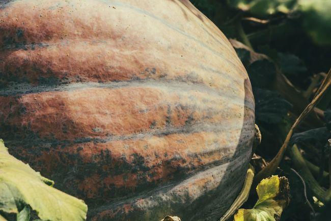 Big Pumpkins Garden Harvest Countryside Vegetable Garden Textures And Surfaces Summertime Outdoor Photography