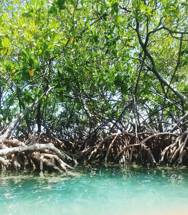 Hanging Out Taking Photos Check This Out Hello World Relaxing Guanica, PR Enjoying Life Lifeisbeautiful Ocean Eye4photography  Puerto Rico See What I See Samsung Galaxy S7 EyeEm Enjoying Life Photography Viewpoint Mangroves Gilligan's Island PR Cristal Water Greenleaves Plants 🌱 Colour Of Life