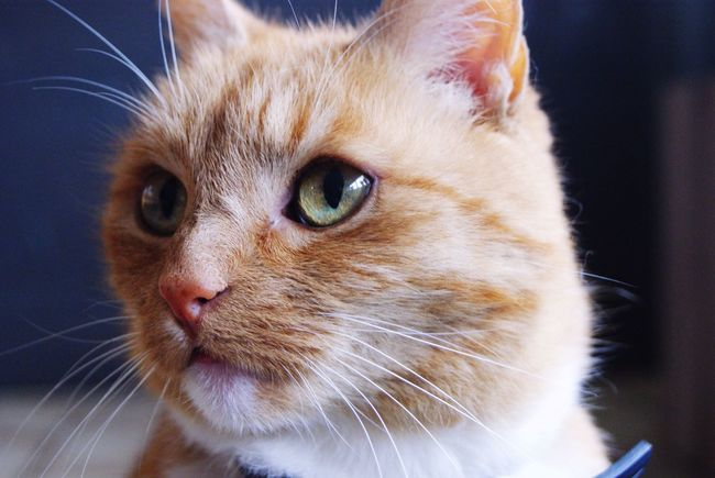 Cat Fur Lady Cat Ginger Cat Ginger Portrait Portrait Of A Cat Cat Portrait Cat Lovers Cat Eyes Staring Whiskers