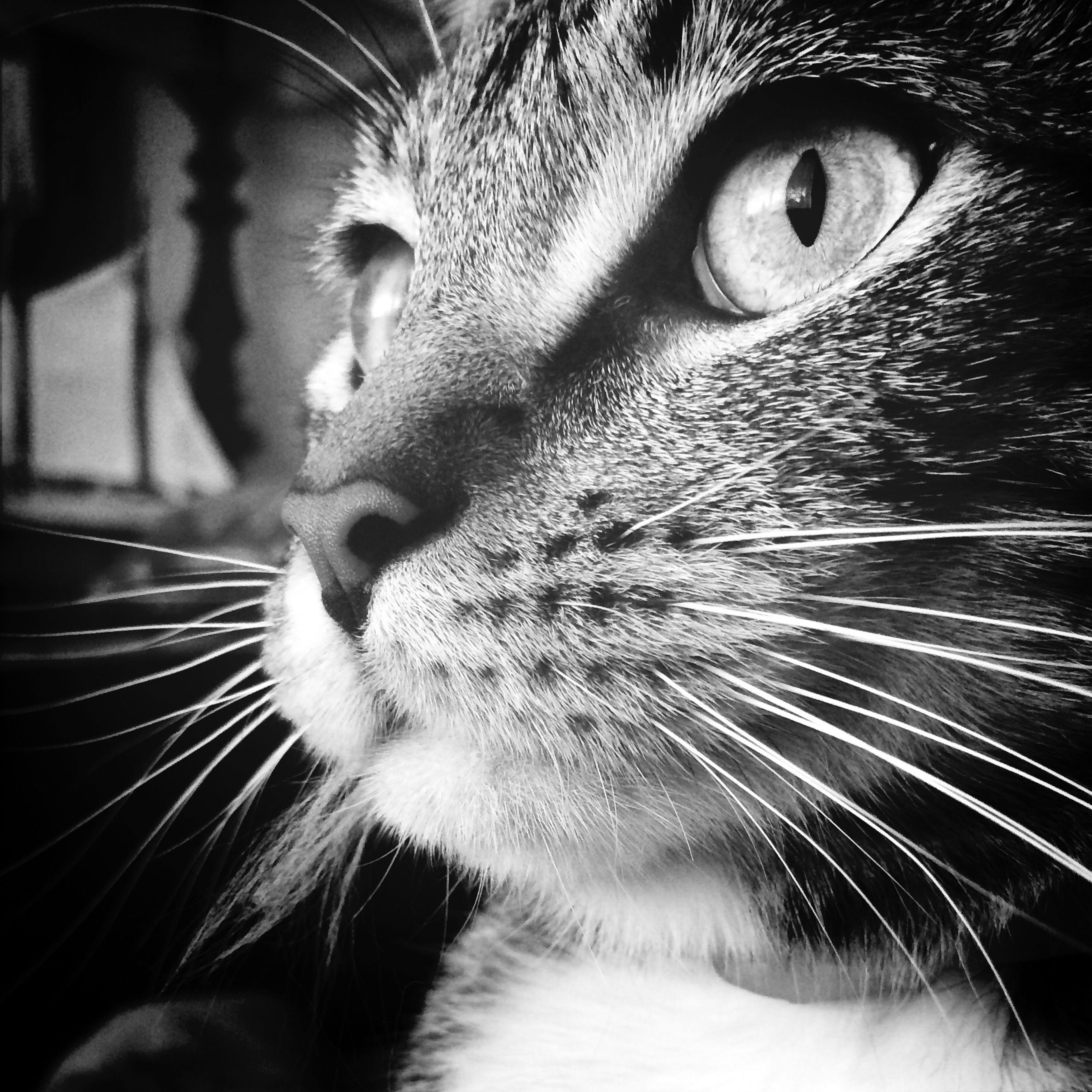 one animal, animal themes, domestic cat, cat, animal head, pets, whisker, domestic animals, close-up, mammal, feline, animal body part, animal eye, indoors, part of, looking away, animal nose, staring, snout, focus on foreground