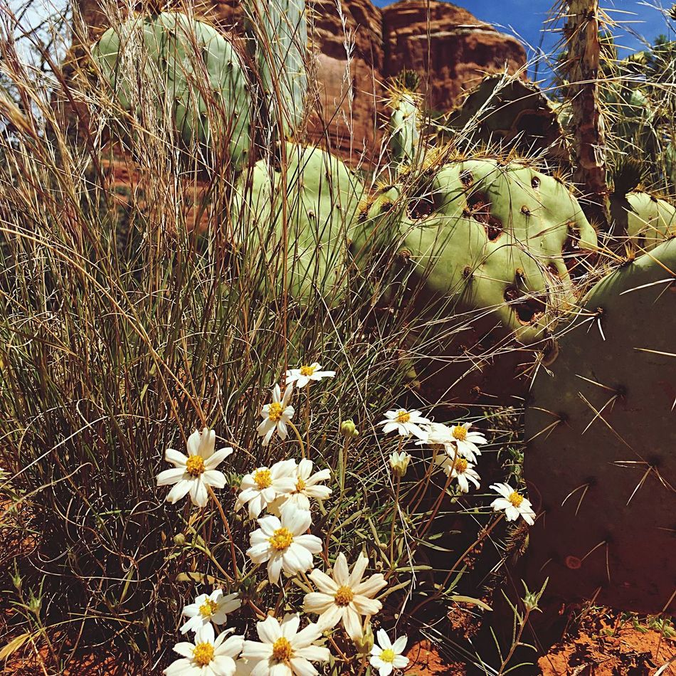 Tranquility Beauty In Nature Flower Head Day Nature Sedona Arizonia Cactus Collection Red Rocks Growth Flower Plant No People Outdoors Cactus Beauty In Nature Fragility Freshness Close-up Prickly Pear Cactus
