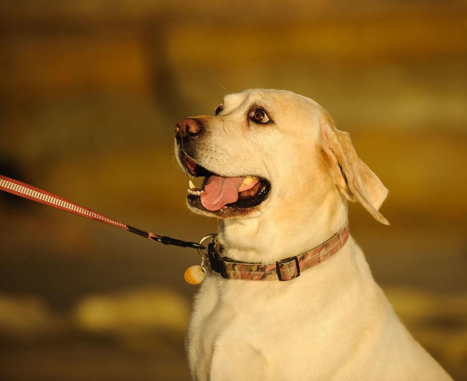 Yellow Labrador Retriever dog Animal Themes Day Dog Labrador Retriever Leashed No People Outdoors Pet Pet Collar Yellow Labrador Yellow Labrador Retriever