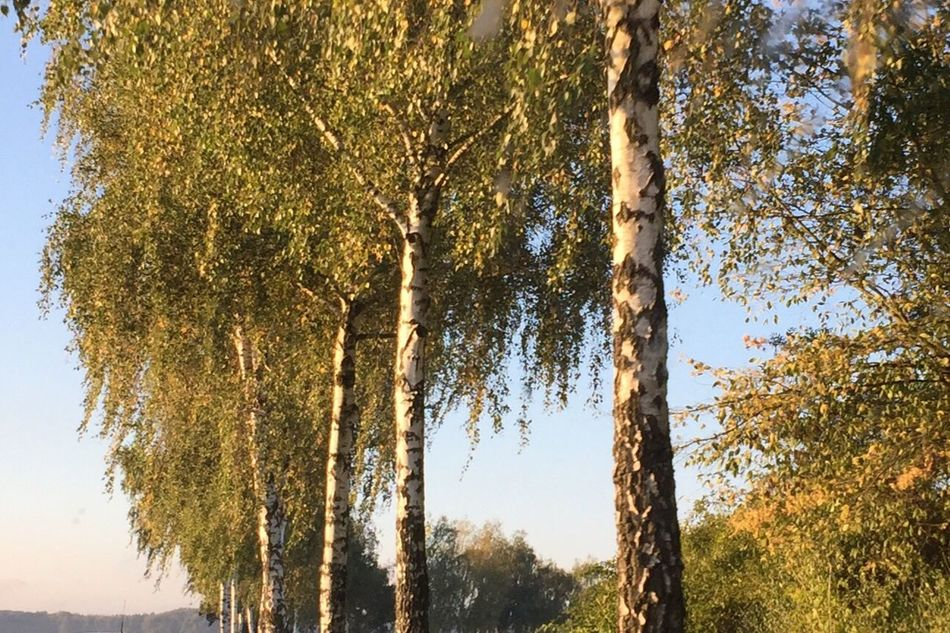 Treelined Autumn Colors Birch Fall Colors Fall Collection Herbst Herbststimmung Birkenallee Herbstbäume