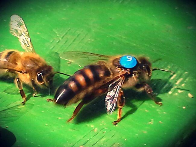 Number six Bienen  Imkerei meise3 Zwanzig15 Schleswigholstein