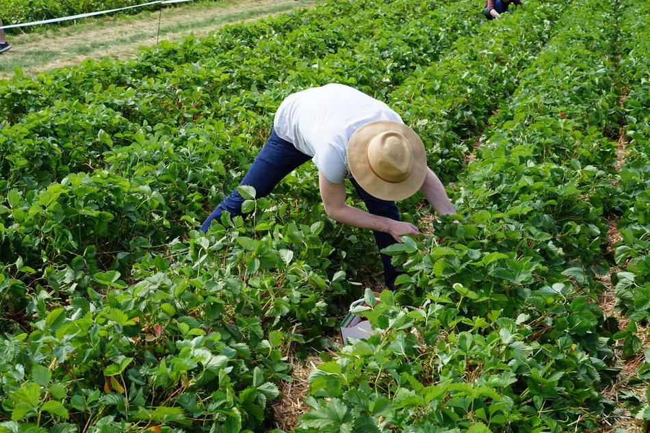 Day Gardening Grass Grassy Green Green Color Growth Hat Lifestyles Lush Foliage Nature Outdoors Plant Strawberries Strawberryfield Strawberryfields