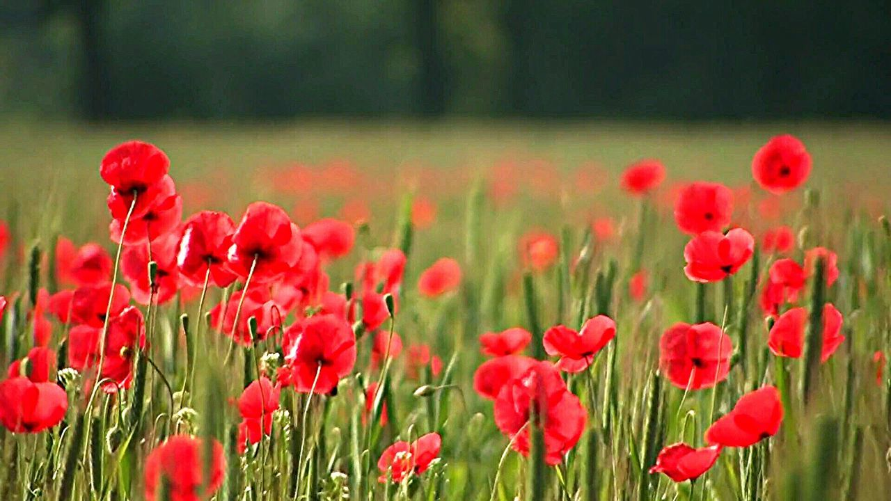 Flower Red Growth Nature Plant Freshness Beauty In Nature Fragility No People Outdoors Colours Poppies  Poppy Flowers Multi Colored