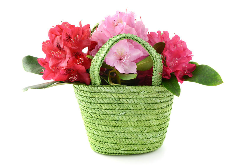 Rhododendron flower heads in a green basket on white isolated background. Basket Blossom Flower Flower Head Freshness Green Color Pink Pruple  Rhododendron Rhododendron Blossoms Rhododendronblossoms Rhododendroninbloom Rhododendrons Studio Shot White Background
