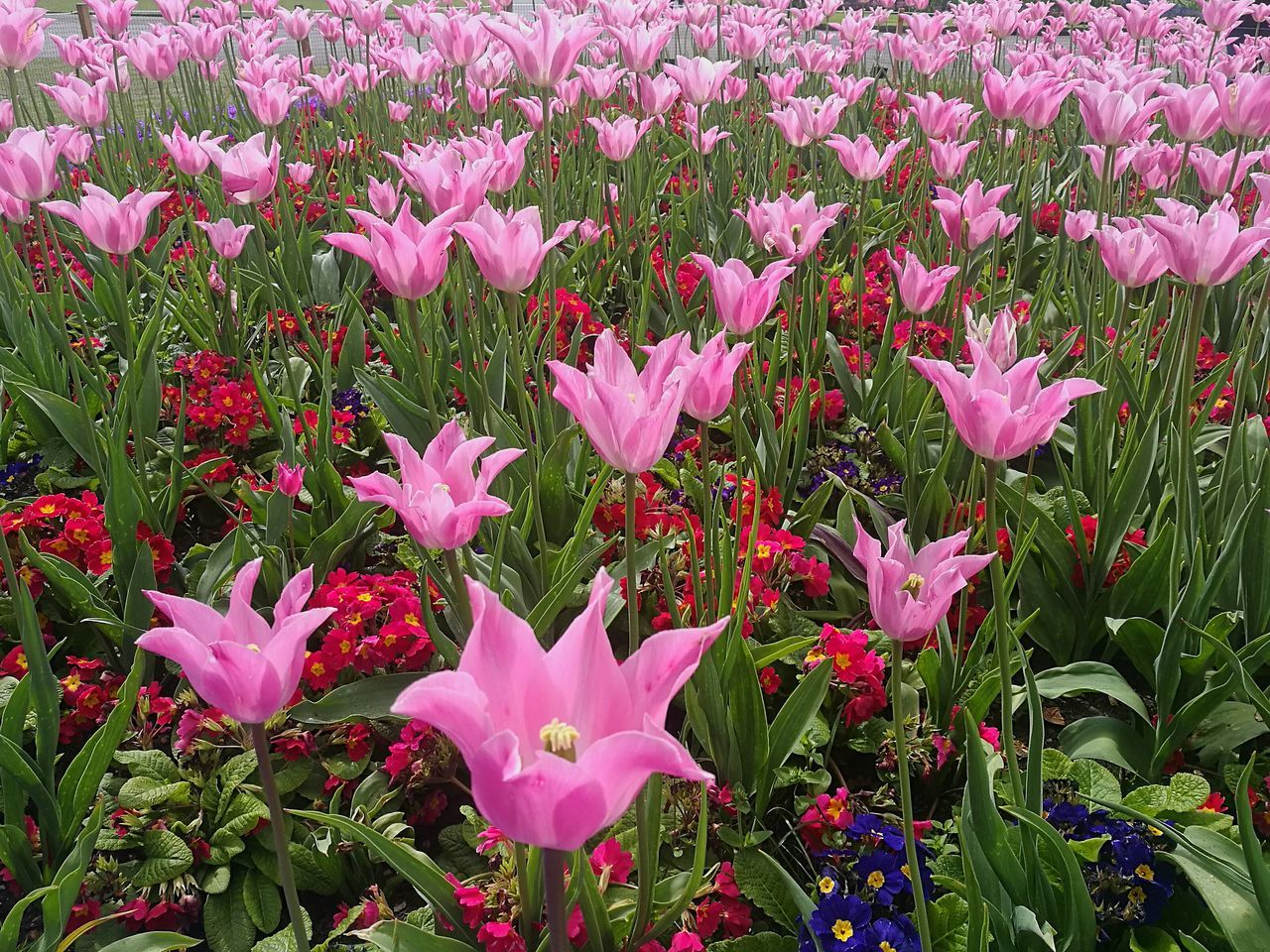 Spring Flowers Love Spring Love Flowers🌷💕 Flower Flowers Smartphonephotography HuaweiP9 Nature Beauty In Nature Growth Petal Tulip Tulips🌷 Tulips Pink Tulips Pink Color Pink Pink Flower Pink Flowers Blooming Blooms Pink Blooms Outdoors Close-up Kew Gardens, London