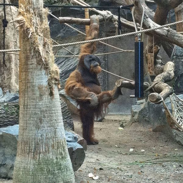 Hagenbecks Tierpark Hamburg  Gym Orangutan Gym Time Orang Utan Gymnastics Zoology Animal Love Fitness Training Jopesfotos - Animals