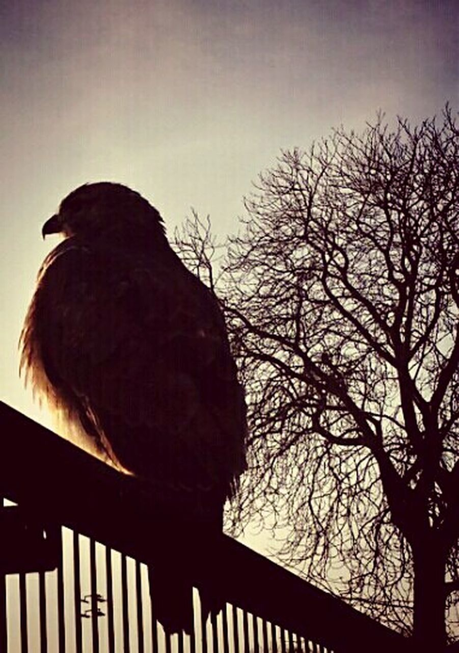 bird, animal themes, one animal, animals in the wild, animal wildlife, perching, no people, silhouette, low angle view, outdoors, raven - bird, bare tree, day, nature, full length, tree, sky, close-up
