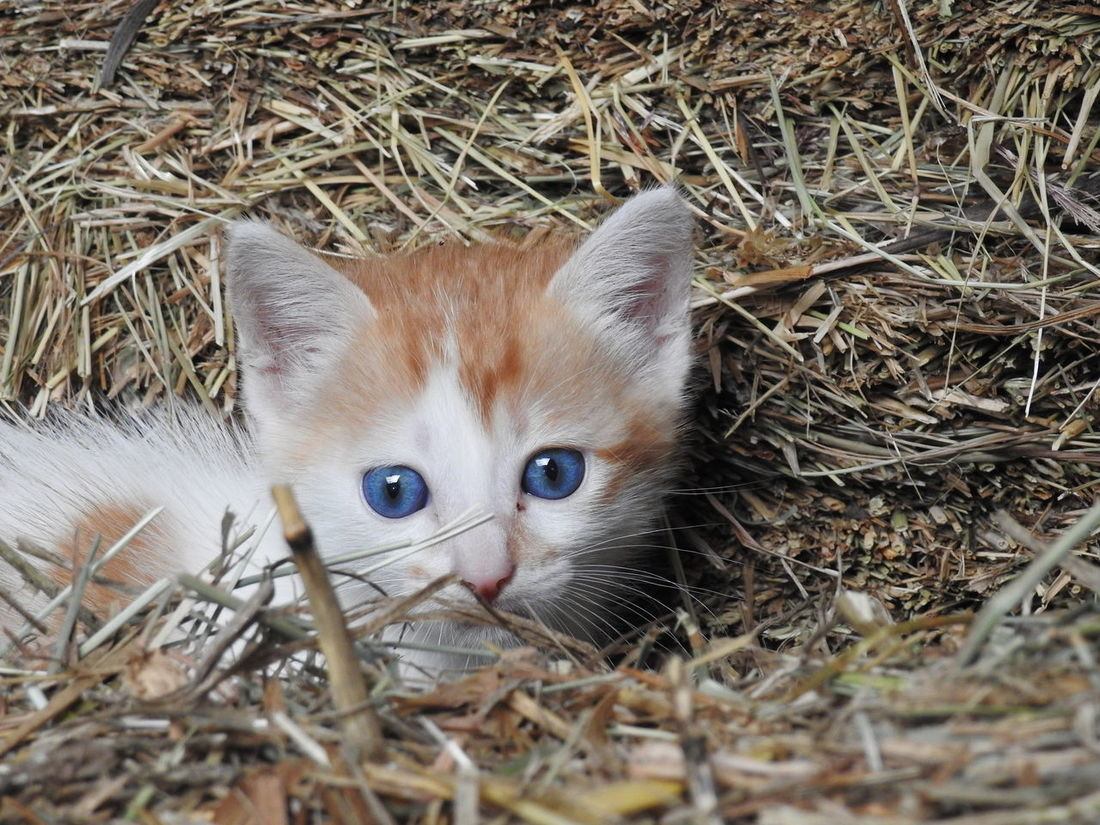 Animal Themes One Animal Hay Mammal Domestic Animals No People Day Animals In The Wild Portrait Young Animal Pets Looking At Camera Close-up Outdoors Nature Pet Portraits Cat Blue Eyes Cats Of EyeEm Cats Eyes Little Cat❤ Beauty Cat Nikon P900 Cat Lovers Cat Photography