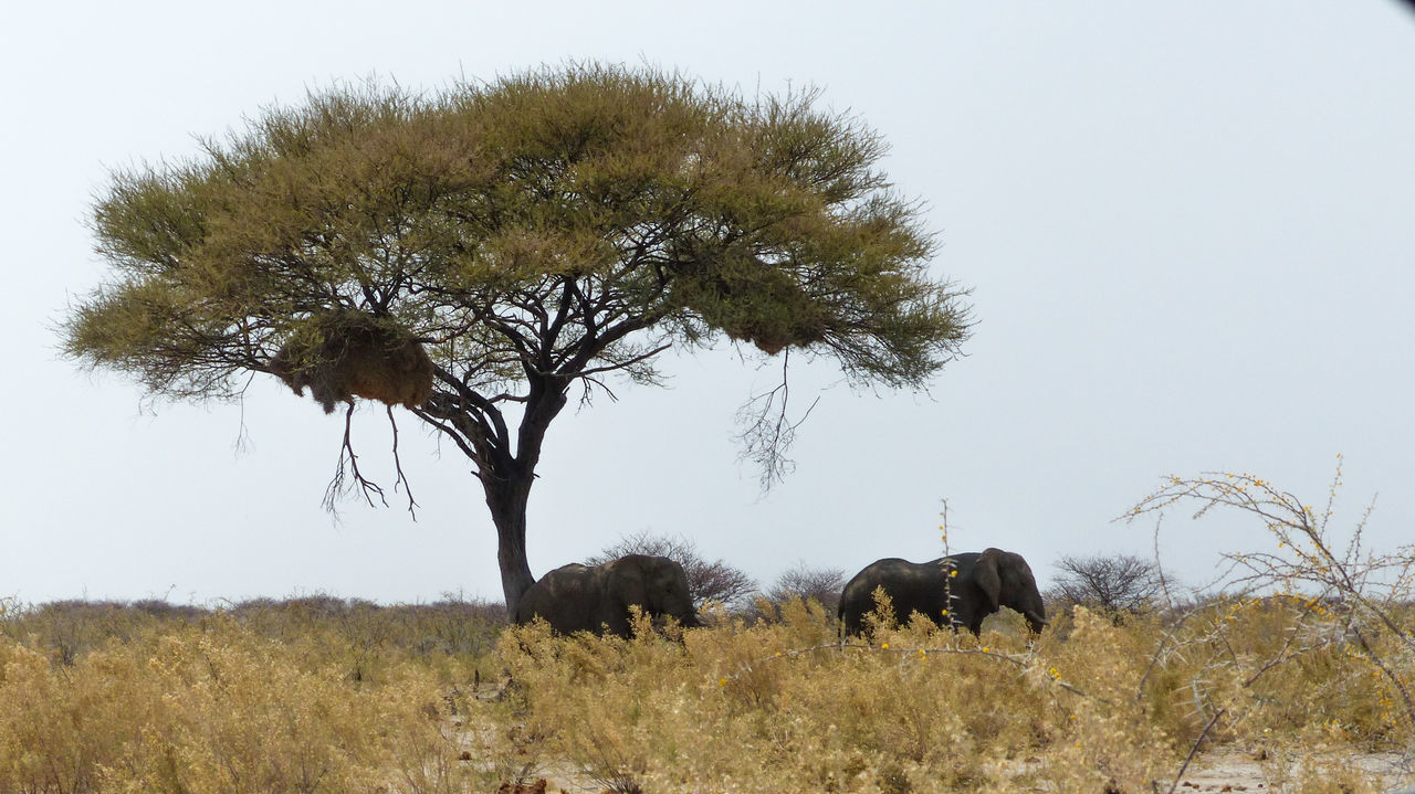 Elephants beneath Acacia in Etosha National Park, Namibia Acacia Animal Animal Themes Beauty In Nature Clear Sky Domestic Cattle Elephants Field Full Length Grass Grassy Grazing Green Green Color Growth Herbivorous Livestock Mammal Nature Pasture Side View Tranquil Scene Tranquility Tree Zoology