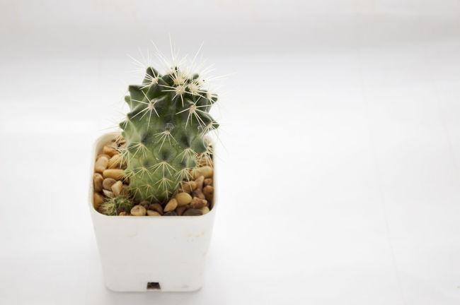 Cactus Cactus Close-up Copy Space Green Color Nature Plant Studio Shot White Background