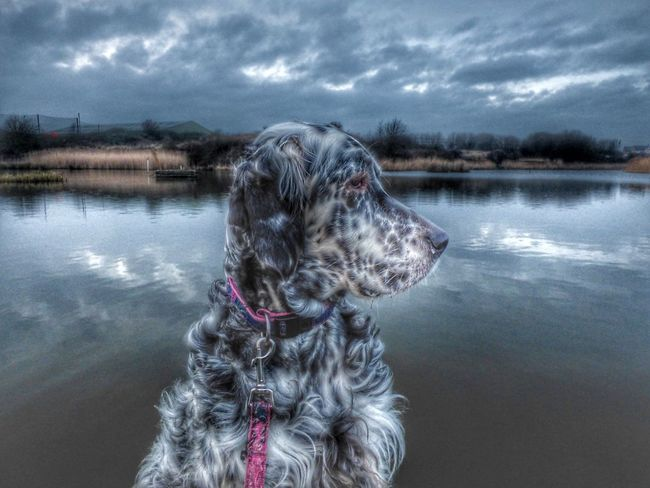 Sapphire Dog Pets Domestic Animals Water One Animal Animal Themes Lake Nature No People Mammal Sky Tree Outdoors Day English Setter Photography Hdr_Collection Tranquility Art Photography Dogs Animals Pet Photography  Pets Corner
