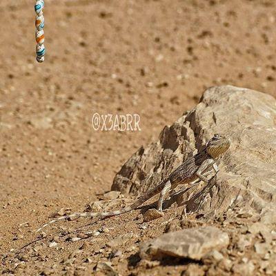 @glock999 🔗 سبحة مسبحة Photographys 😀 Links desert lizard reptiles حيوانات تصويري صحراء القصيم مقطع لقطة السعودية سحلية سحالي زواحف ksa sonyalpha sony animal animals instalizard instalizards lizards saudiarabia saudi_arabia instareptiles reptiles instaanimal instaanimals