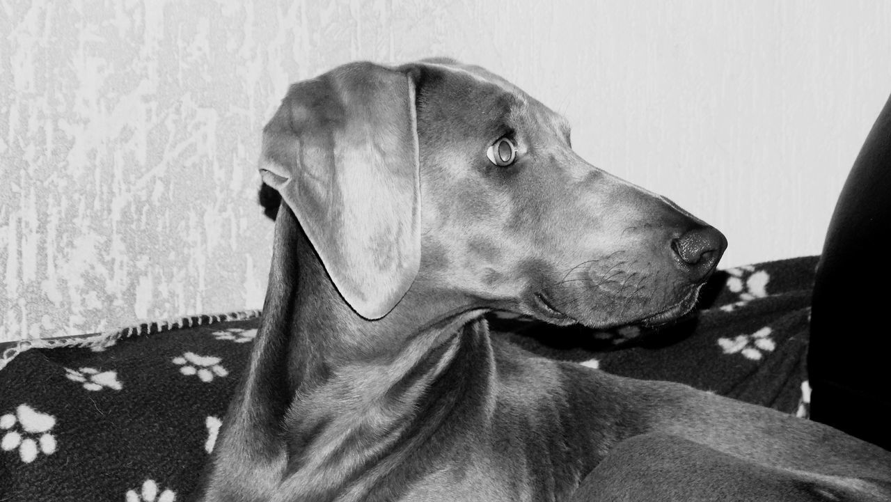 Pets Domestic Animals Dog Mammal Animal Themes One Animal No People Close-up Indoors  Weimaraner Day Lilymayparker.blogspot.be Lily May Collection Dogs Dogs Of EyeEm
