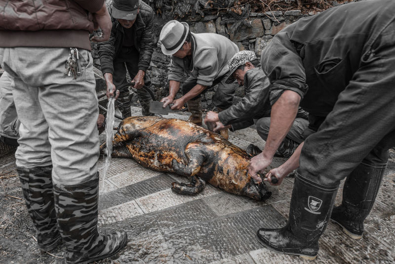 China Yunnan ,China Ziseetheworld Ziwang Villager Village Life Local Food Culture Pig Farmer villagers kill a pig to sacré to their ancestors on tomb sweeping festival.