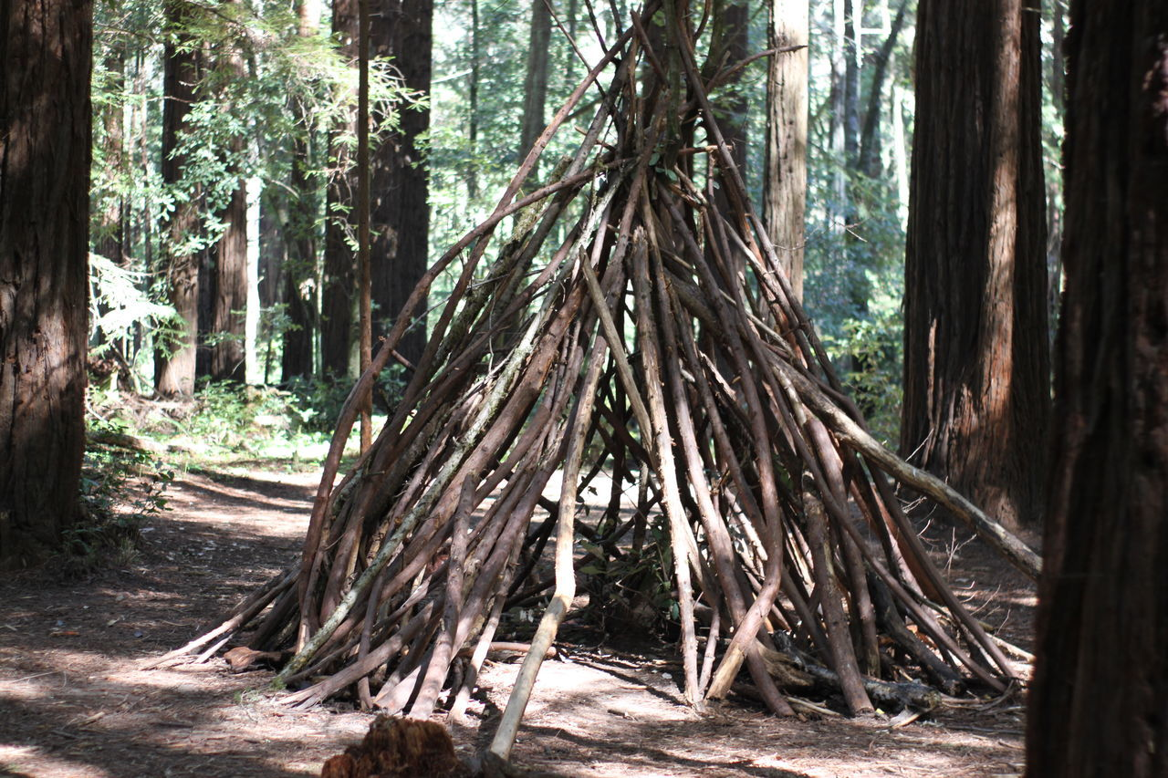 Tree Tree Trunk Forest Nature Growth Outdoors Environment Environmental Issues No People Day Timber Tranquility Beauty In Nature Teepee Limbs Redwoods Forest Photography Art Creativity Man Made EyeEm Nature Lover EyeEm Best Shots Northern California Tree Evergreen