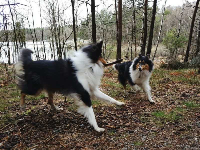Molly and Kendza is playing Playtime Playground Unsharpness Movement Photography Move On Eyeem Enjoying Life EyeEmbestshots Nature_collection Gothenburg, Sweden Photos Around You Showcase April EyeEm EyeEm Best Shots Nature On Your Doorstep Rough Collie Samsungphotography Mobilephoto Enjoying Life Forest The Week On Eyem AnimalGothenburg_photographer_ Nature_collection Landscape_collection EyeEmNatureLover Showing Imperfection Our Best Pics