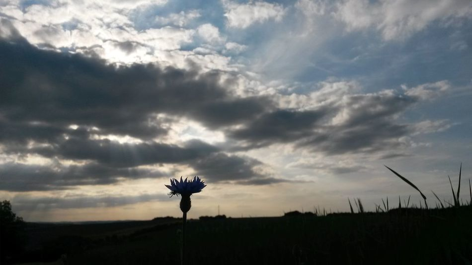 Light And Reflection Maximum Closeness Kornblume Spinne