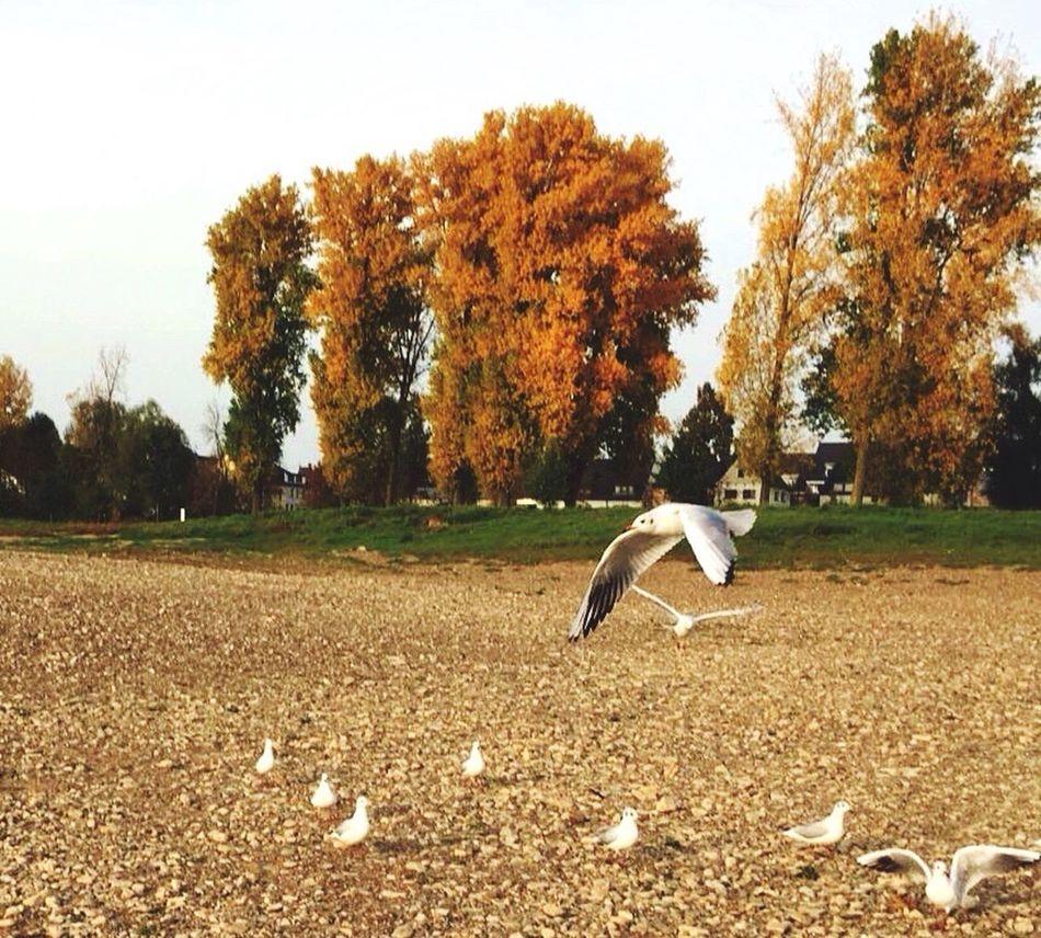 Autumn Bird Birds Bird In Flight Seagull Seagulls Animals In The Wild Flying Outdoors Day No People Germany Poplars Poplar