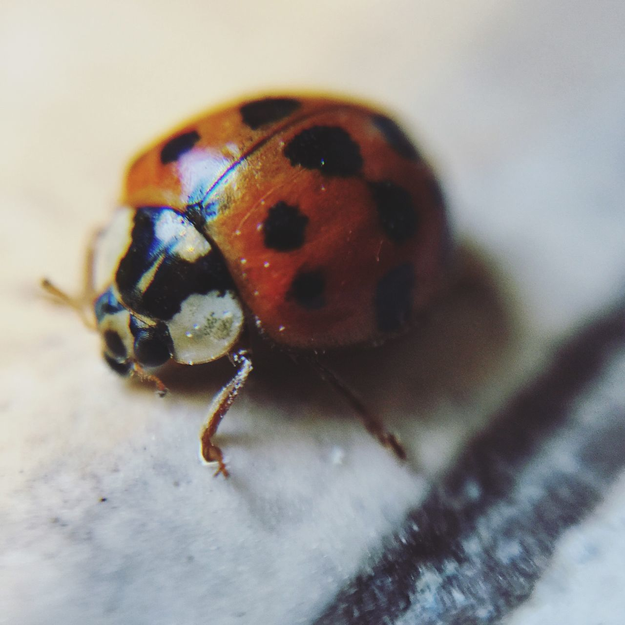 Close-Up Of Ladybug On Table