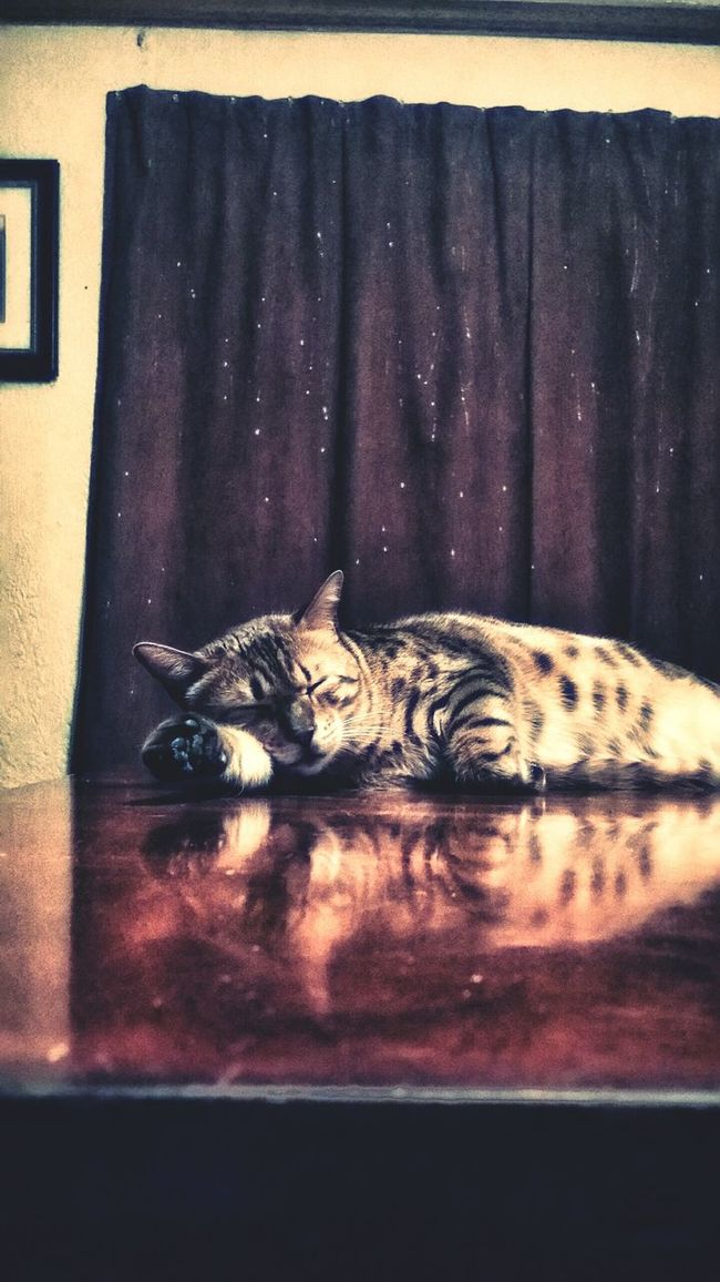 Cat♡ Savannah Cat  Sleepy Cat Cat Reflection Cat Spots Catlovers Cataholic Catlady Catlife Catoftheday Catportrait Eyeemcatlover