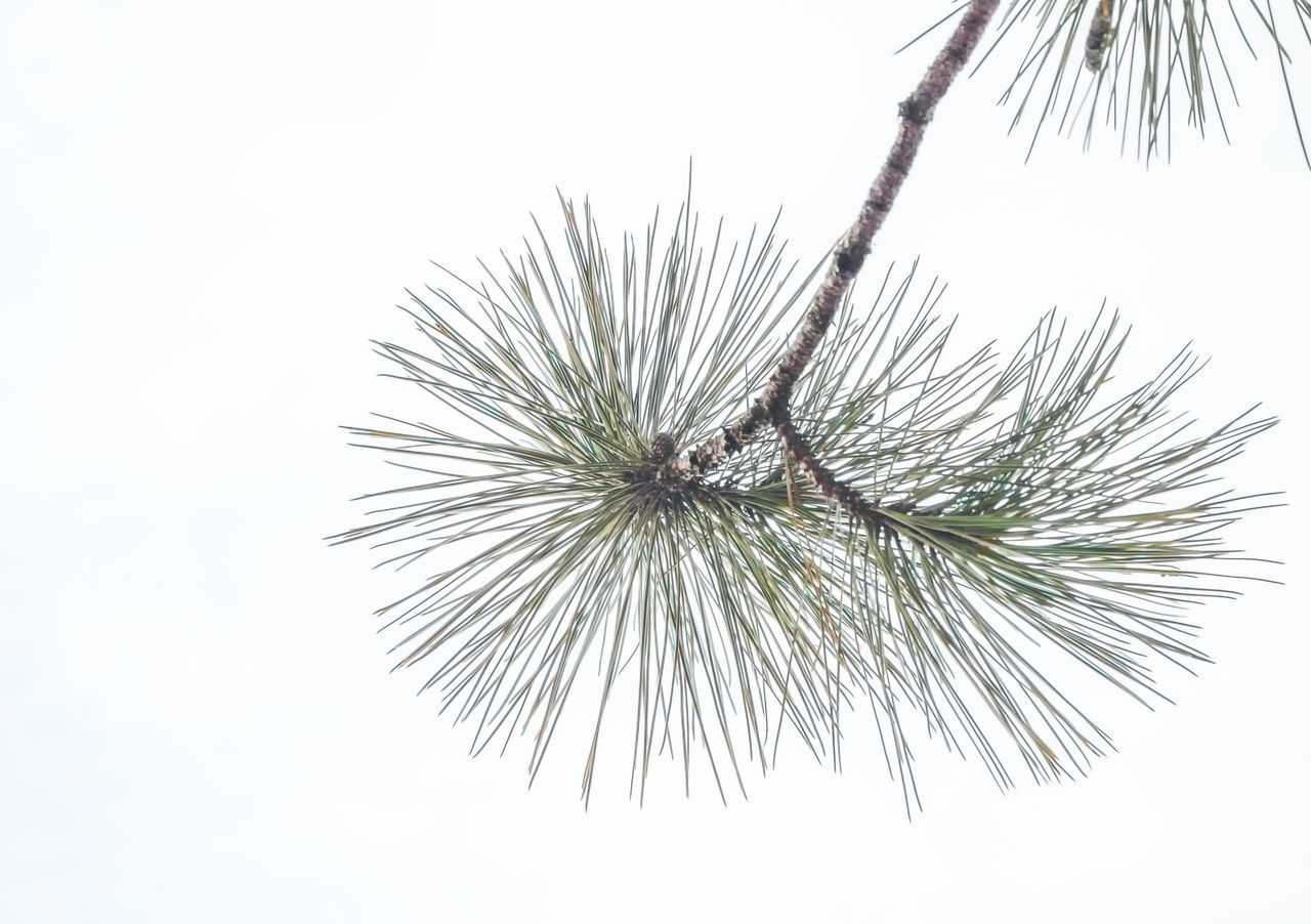 Branch Close-up Day Evergreen Evergreen Tree Forest Green Minimal Minimalism Nature Needles No People Ontario, Canada Outdoors Pine Cone Pine Needles Pine Tree Sky The Week On EyeEm Tree And Sky Tree Branches Trees White Pine WoodLand Woodlands