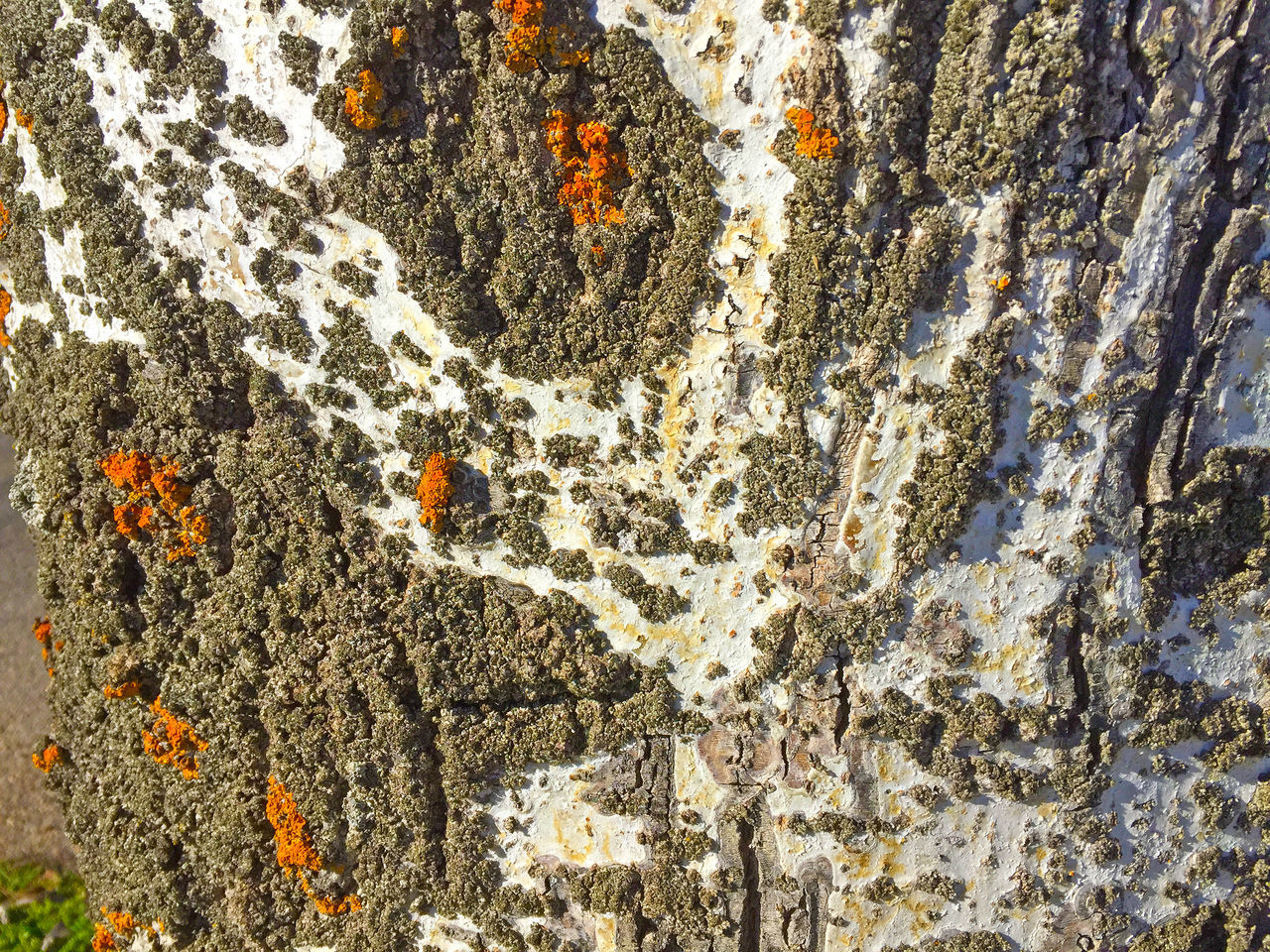 Abstract Background Background Texture Backgrounds Bark Crack Cracked Design Environment Forest Graphic Gray Lichen Lichen On A Tree Nature Populus Populus Alba Surface Texture Texture_collection Textured  Textures And Surfaces Tree Trunk Wood