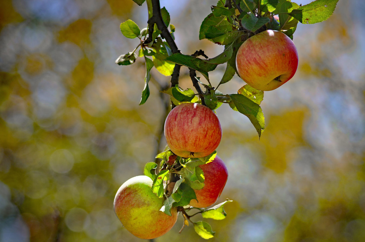 Beautiful stock photos of apple, Apple - Fruit, Apple Tree, Branch, Close-Up