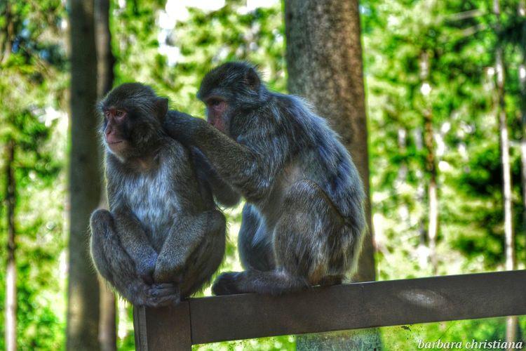 Affen Monkeys Landskron Enjoying Life