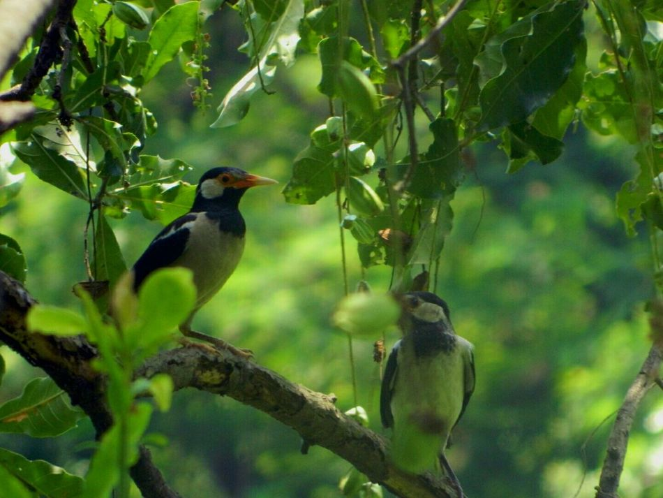 Gracupica contra. (Asian Pied Starling/ Pied Mynah). These birds can Mimic human voices if trained. The Birds Series Bird Starlings Pied Mynah AMPt - LOVE The Best From Holiday POV Capture The Moment Birds Of EyeEm  Bird Watching Wildlife Wildlife Photography Wildlife & Nature