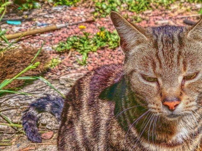 Penny, rehomed stray The Innovator Cats Cats Of EyeEm Tabby Cat Queen Cat Pretty Cat Best Edits  Beautiful Cat Pets Animals