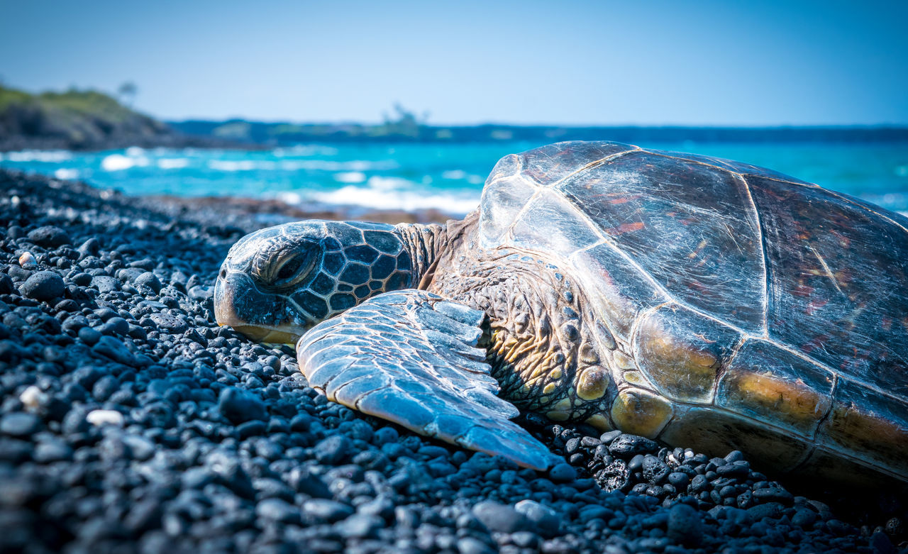 Beautiful stock photos of schildkröte,  Animal Themes,  Animals In The Wild,  Beach,  Beauty In Nature