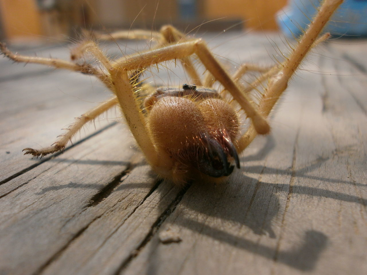 one animal, close-up, animal themes, animals in the wild, brown, insect, wood - material, day, no people, outdoors, nature