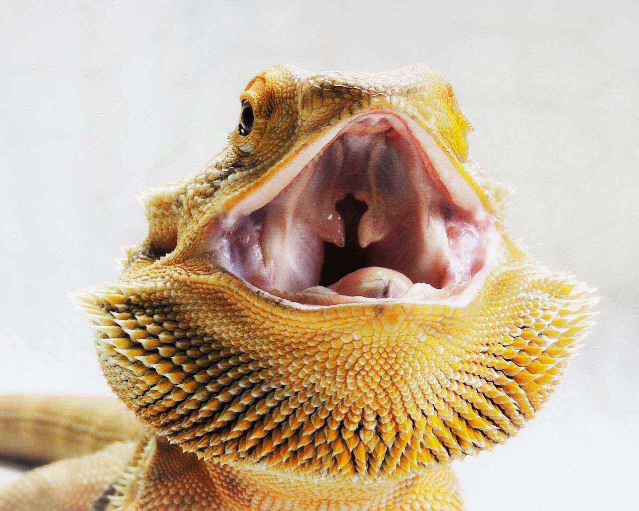 Bearded Dragon Close-up One Animal Animal Themes No People Mouth Open Nature Studio Shot White Background Contrast Detail Spikes Spiked Headshot Animal Head  HEAD Mouth Open Australian Native Animal Lizard Freshness Vibrant Color Vibrant
