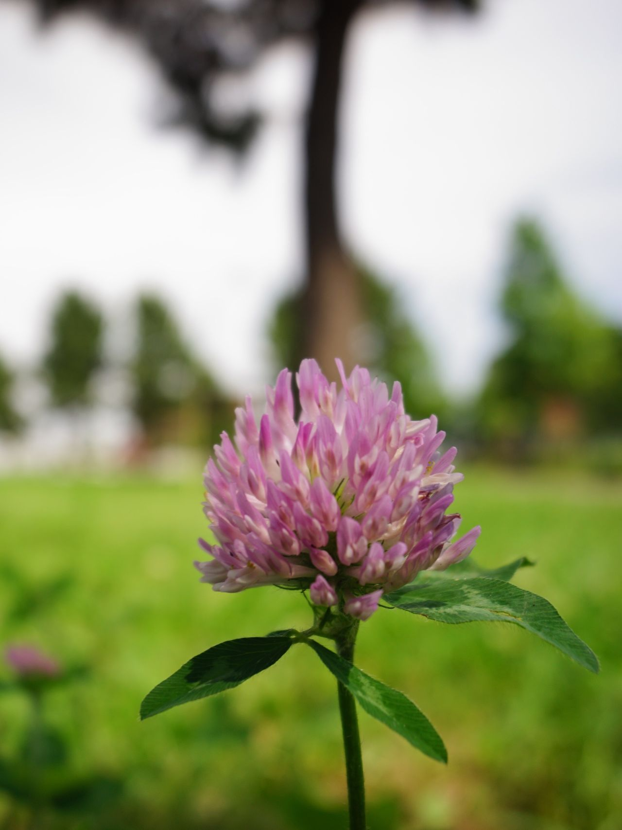 Pink Clover Pink Clover Bokeh Bokeh Photography Flower Nature In The City Green In The City Nature City Life Streetphotography Street Photography The Purist (no Edit, No Filter) EyeEm Best Shots EyeEm Best Shots - Nature EyeEm Best Shots - Flowers Snapshot Taking Photos Walking Around お写ん歩