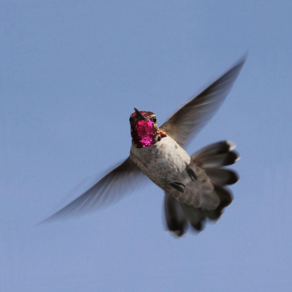 Beautiful stock photos of hummingbird, Animal Themes, Animals In The Wild, Bird, Concord