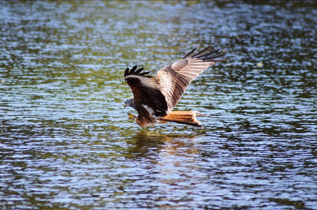 Bird Nature Spread Wings Lake Flying Animal Themes Water Animals In The Wild Animal Wildlife Beauty In Nature Day No People Outdoors Bird Of Prey Redkite