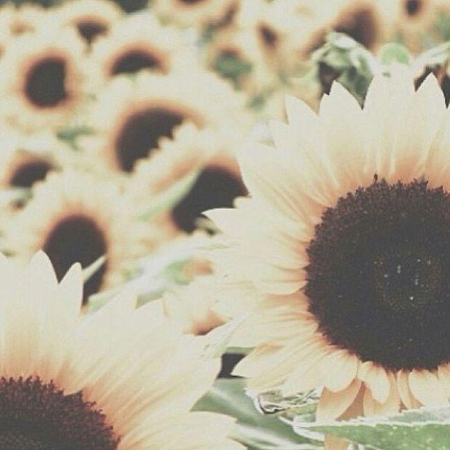Photoilike Sunflowers Favoriteflower