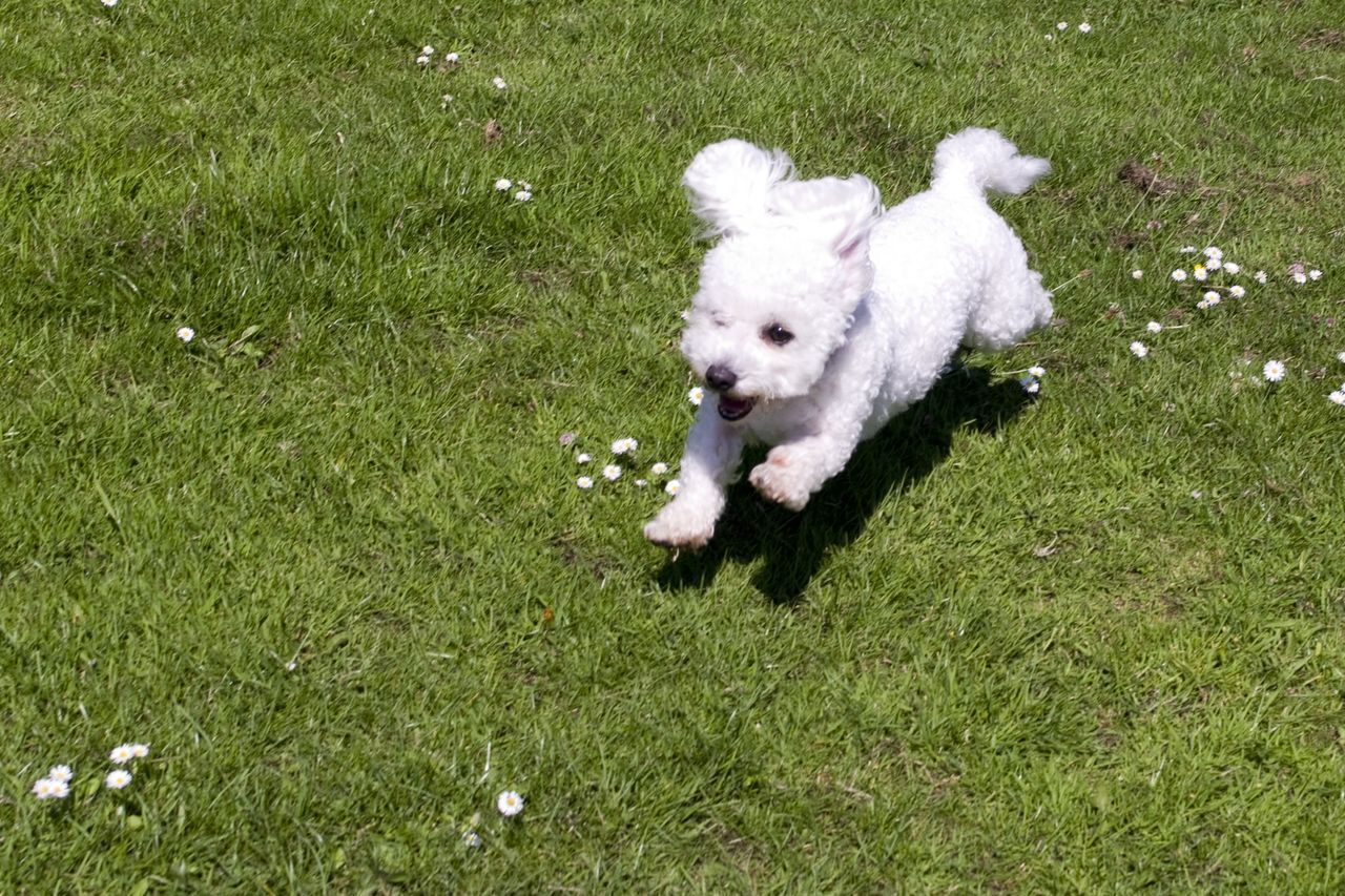 Animal Animal Themes Bichon Frise Bichonfrise Day Dog Domestic Animals EyeEm Gallery EyeEm Nature Lover Flowers Friendship Grass Green Color Humour Mammal Meadow Nature No People One Animal Outdoors Pets Summer The Week Of Eyeem White