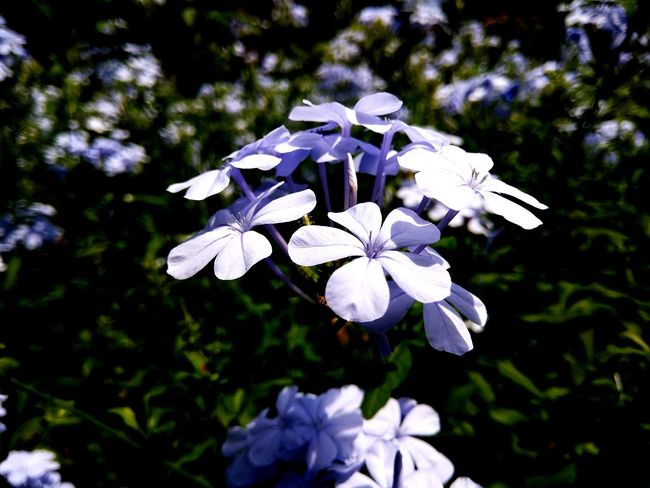 Peace White Flower Nature Flower Head Freshness Growth Art Is Everywhere Beauty In Nature