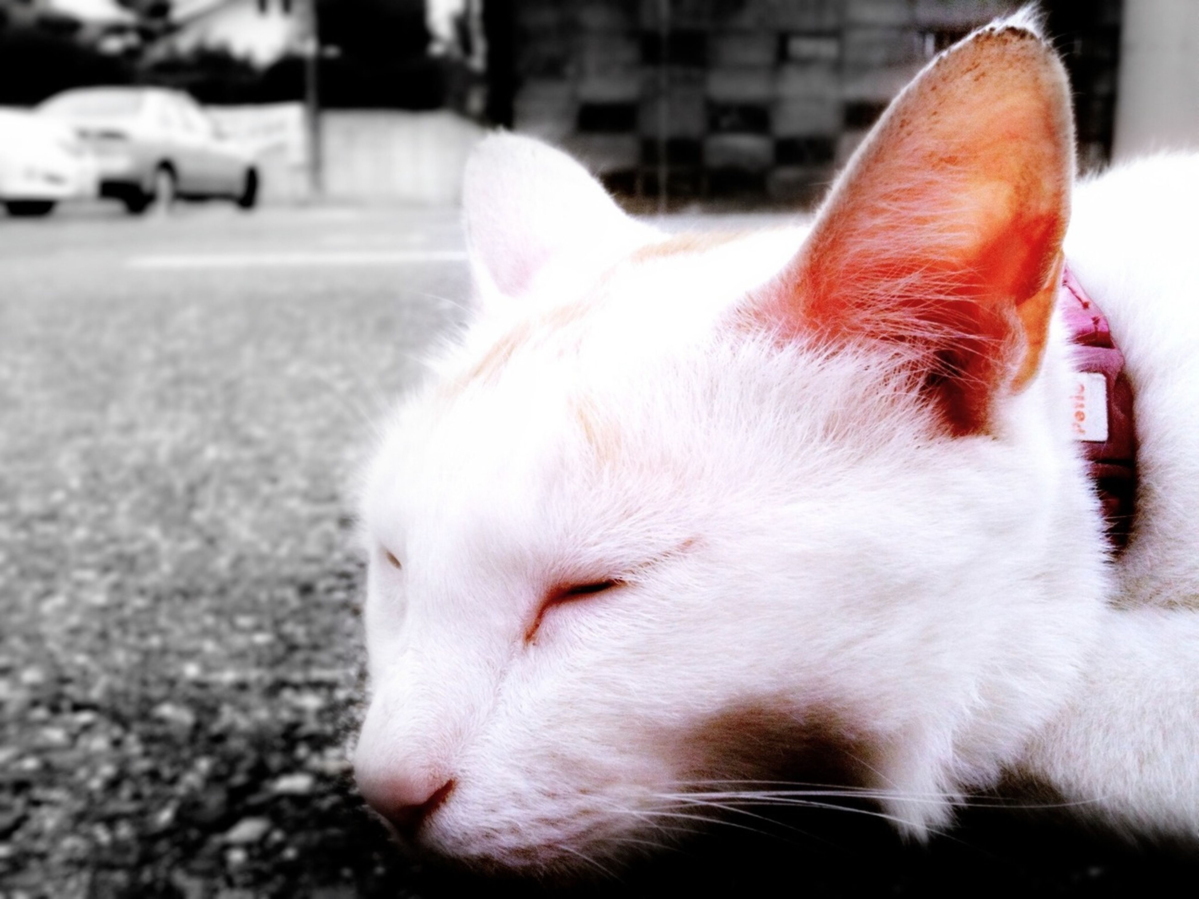 domestic animals, pets, mammal, domestic cat, animal themes, one animal, cat, feline, focus on foreground, whisker, close-up, white color, animal head, relaxation, looking away, street, no people, selective focus, zoology, day