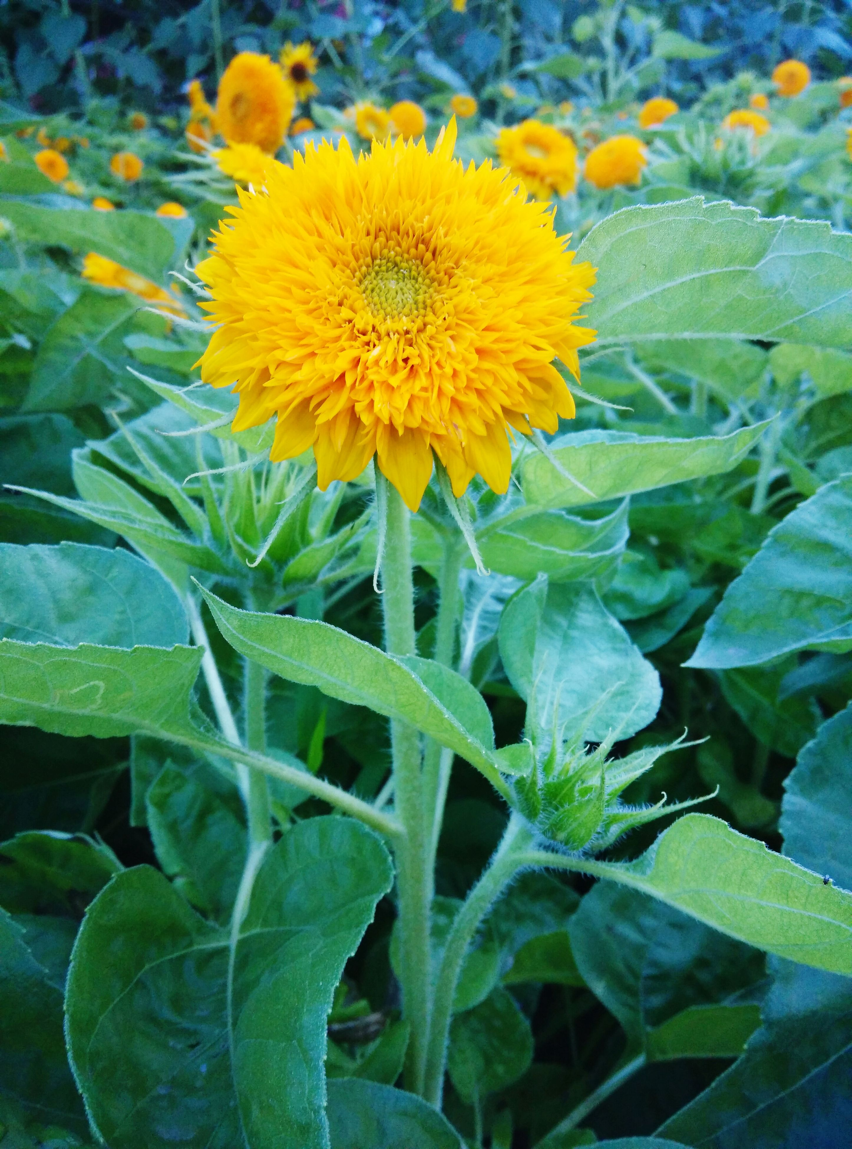 flower, freshness, fragility, petal, growth, yellow, flower head, leaf, beauty in nature, plant, blooming, nature, green color, close-up, in bloom, sunflower, stem, blossom, field, focus on foreground