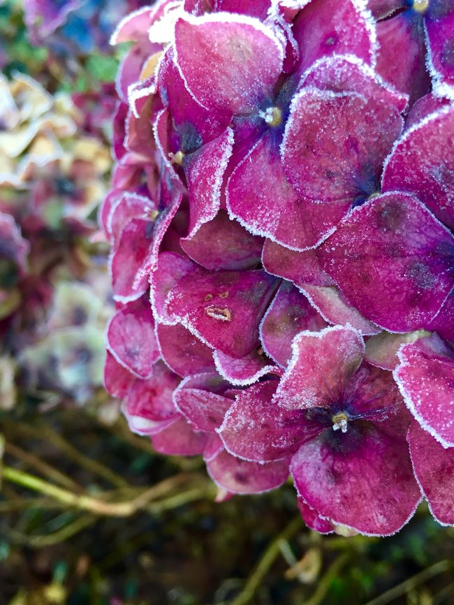 Hydrangea Flower Purple Flora Frost Winter Cold It's Cold Outside