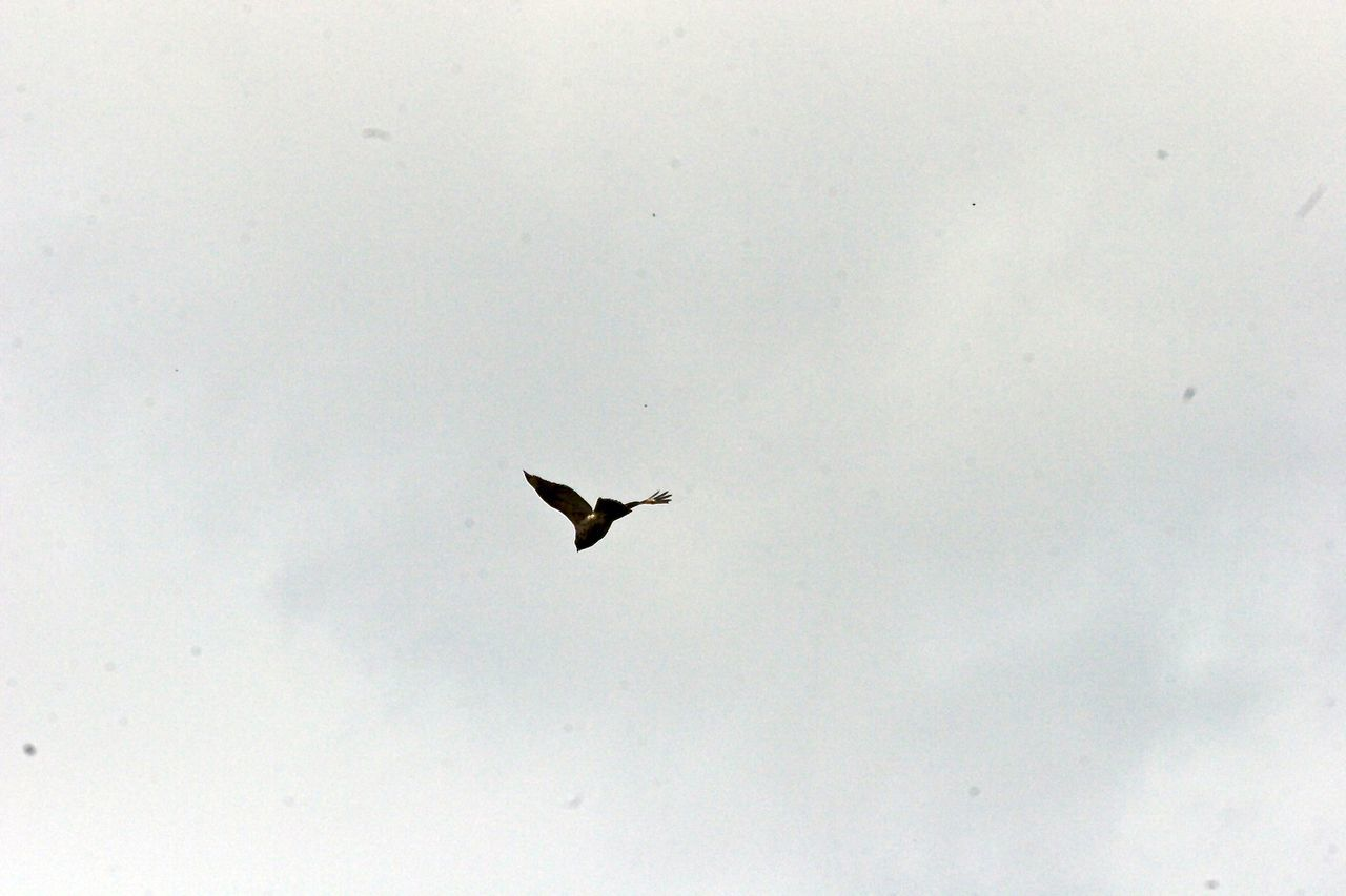 flying, bird, animal themes, animals in the wild, one animal, low angle view, spread wings, no people, mid-air, day, nature, outdoors, sky