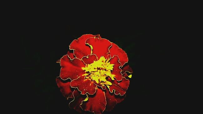 Taking Photos Check This Out EyeEm Best Shots Flowers Flower Nightphotography Night Nightshot Red Flower Dayandnight Light And Shadow Light In The Darkness