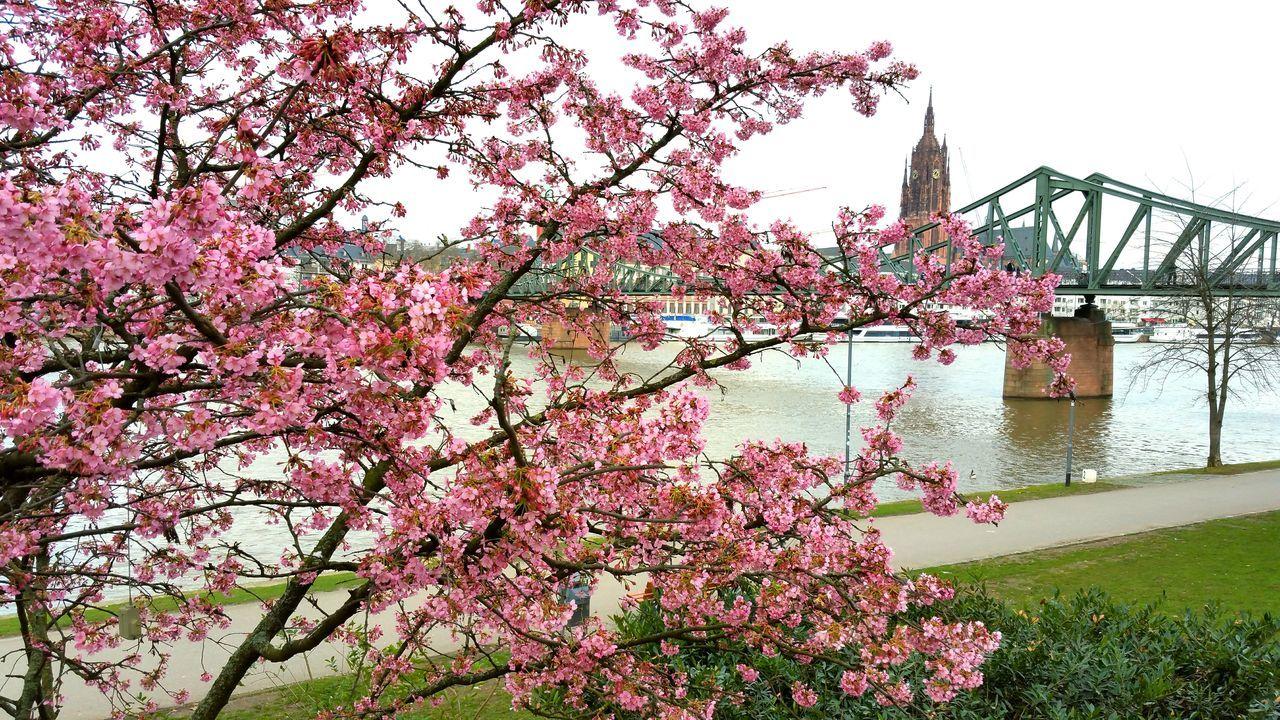 Frankfurt Am Main Main Riverside River View Blossom Blossoming Tree Bridge Bridge Over Water Spring Spring Is Coming