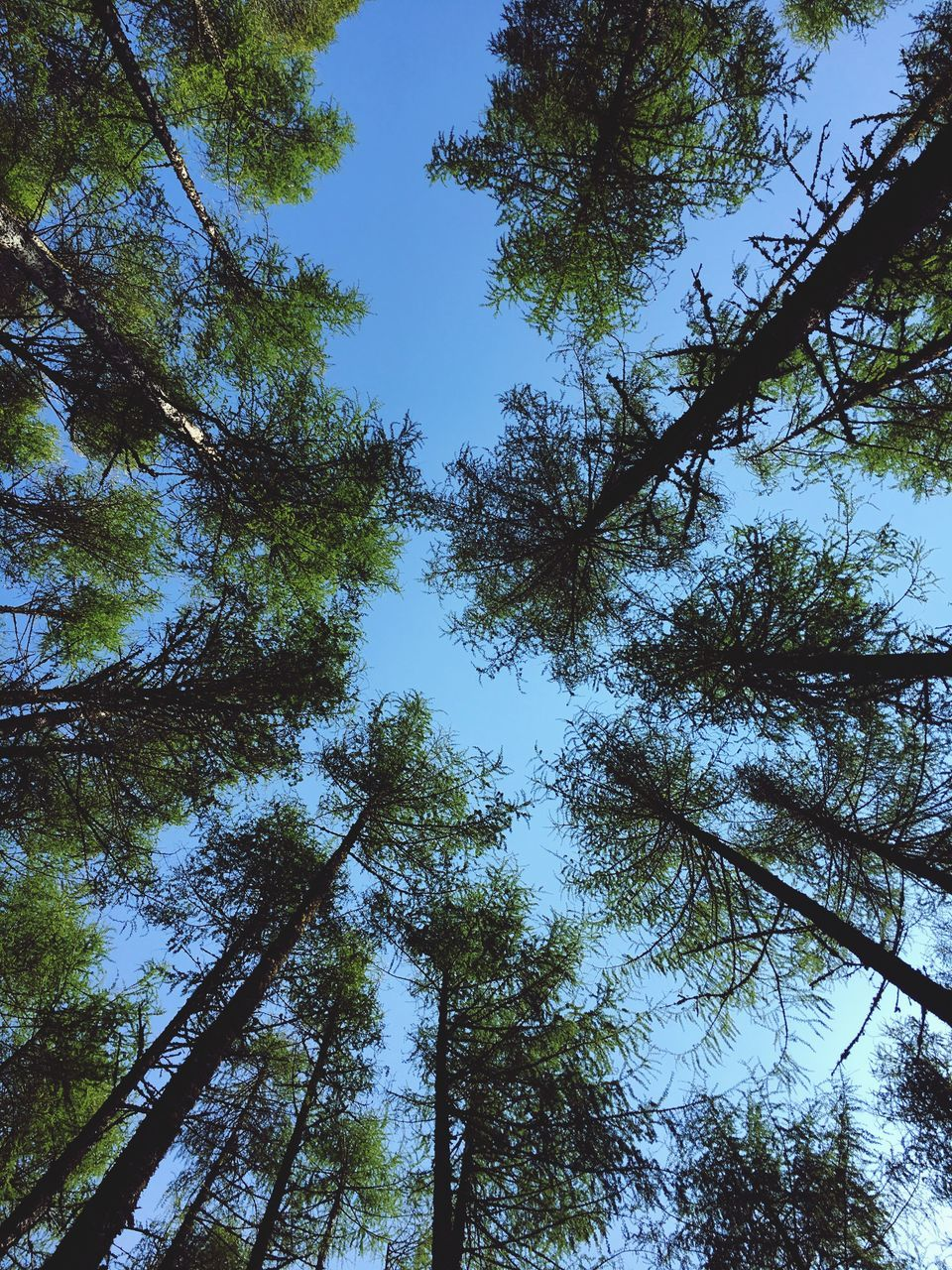 tree, low angle view, forest, growth, nature, tree trunk, beauty in nature, day, no people, woodland, tranquility, outdoors, tranquil scene, sky, tree canopy, branch, green color, scenics, pine tree, bamboo grove, bamboo - plant, clear sky